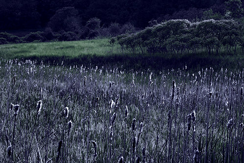 Cattails in Moonlight