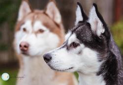 Klara's Huskies -9