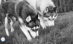 Klara's Huskies -12