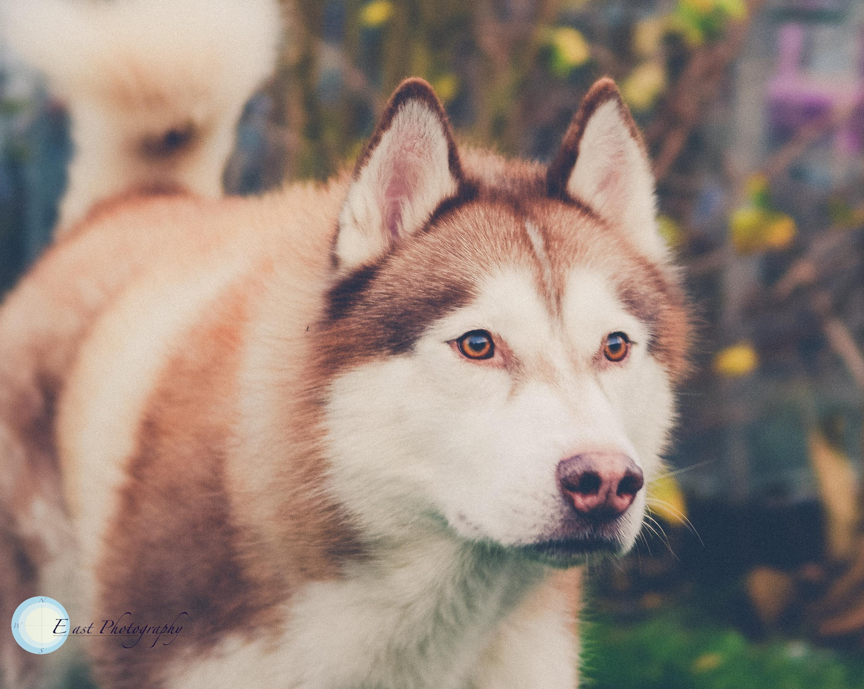 Klara's Huskies -13