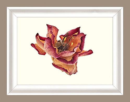 Rose rouge sèche