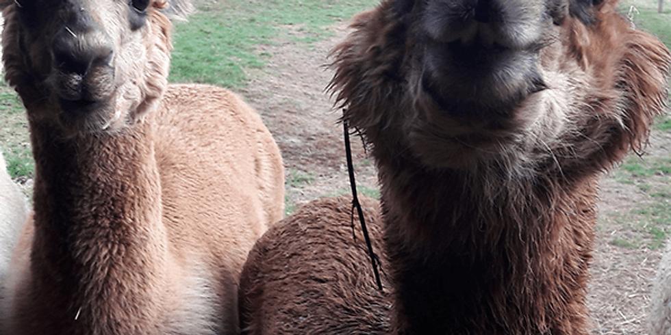 """!!!Verschoben!!! Zusatzmodul """"Tiermedizinische Einheit für angehende zertifizierte Alpakazüchter"""""""