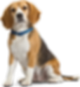 Family and Pet Guide, beagle dog
