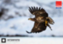 White tailed eagle roaming the coasts of Norway. Haholmen, Norway. Photo by: Thomas B Eckhoff