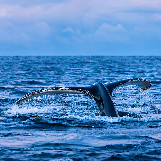 Expand your photoworkshop in Lofoten with Whale safari in Andenes. The Thomas Eckhoff Classic Norway workshop in Lofoten, Norway