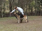 Training all breeds using positive methods only