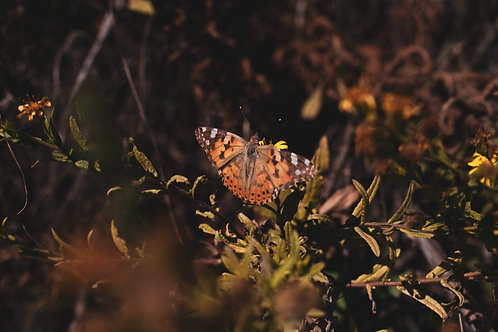 Andalucian Butterfly