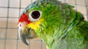 Eko, le perroquet Amazone star !