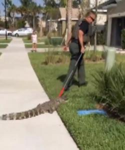 Sheriff wrangles Florida gator