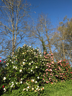 Camellia de printemps de Gaujacq