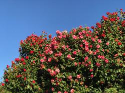 Camellia de printemps.