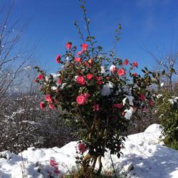 Camélia sous la neige