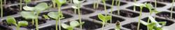 limeSeedlings.jpg
