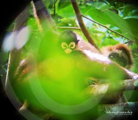 Spider monkeys.jpg