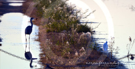 albufera egrets