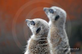 Suricata suricatta.jpg
