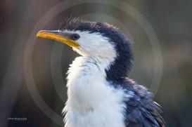 Australian pied cormorant