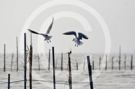 albufera seagulls