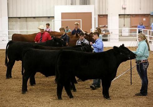 County Fair- Cows.jpg