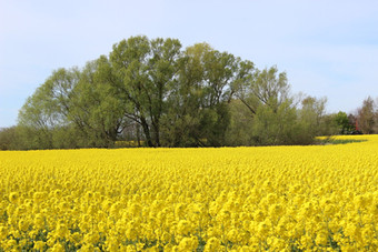 oilseed-rape-5086692_1920.jpg
