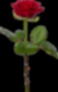 370-3705718_single-rose-png-transparent-