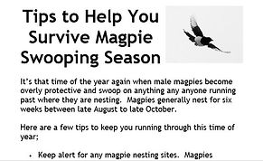 Surviving Magpie Swooping.JPG