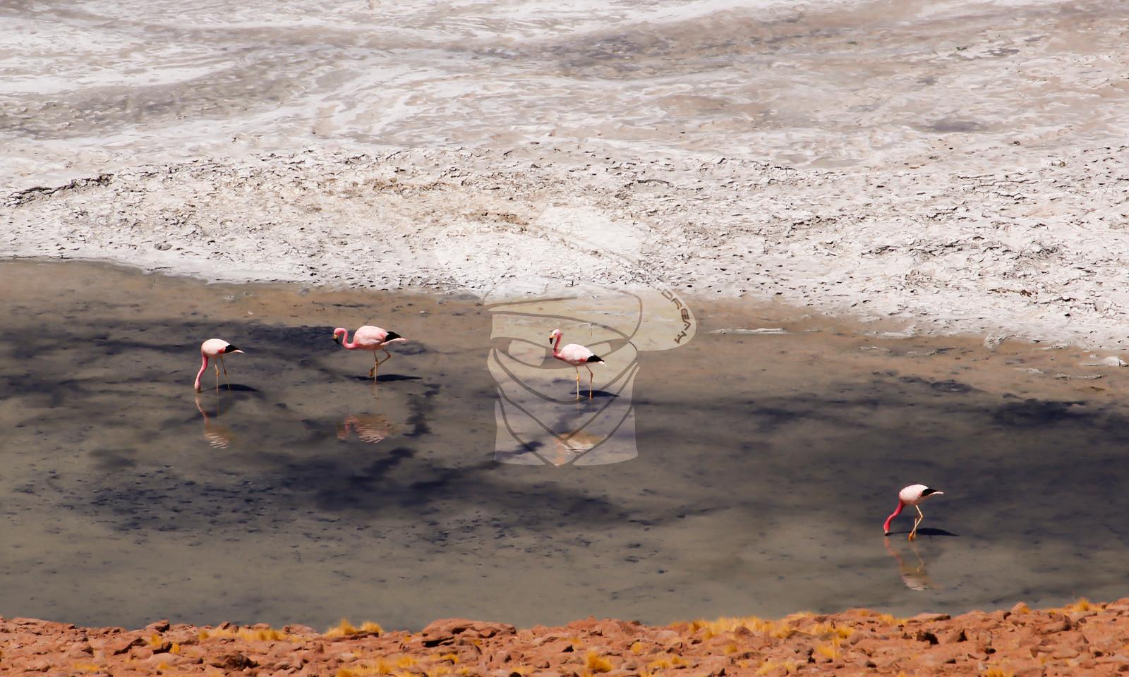 Salar Loyoques, Atacama
