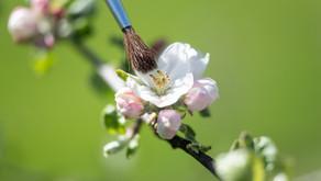 Phänologie und die Handbestäubung von Apfelblüten