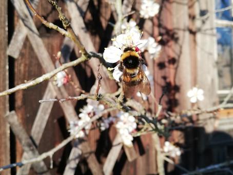 """Wildbienen und der Mythos der """"guten"""" Honigbiene"""