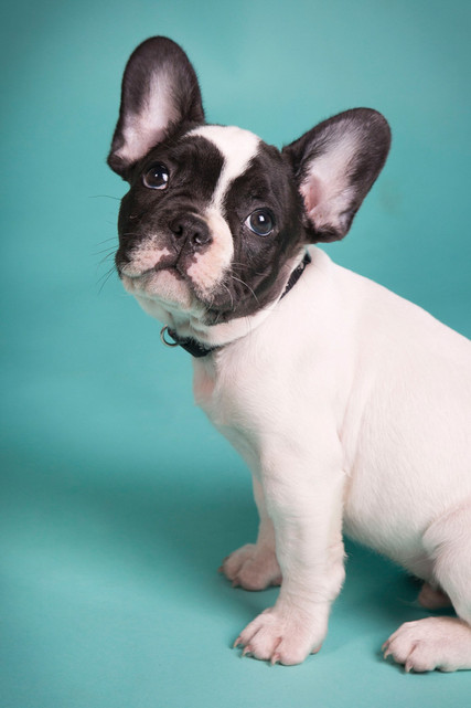 professional-dog-photography-portrait  (