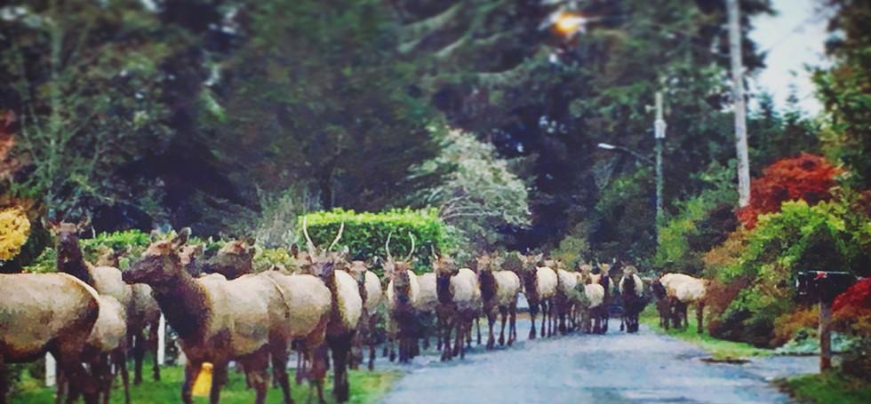 The Gearhart Elk Herd