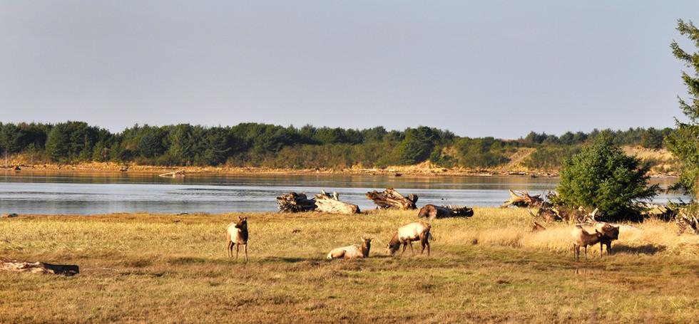 Elk in the Necanicum Estuary