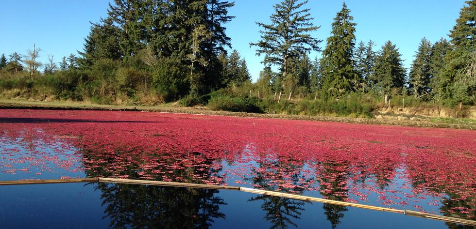 Cranberry Bog Harvest