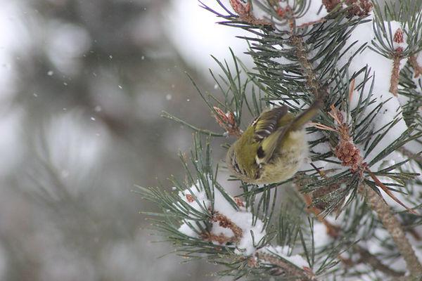 oiseau-hiver-nature-mezenc.JPG