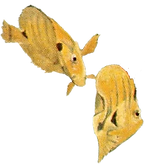 Reef fish Honolulu.png