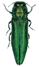 Agrilus_planipennis_001.png