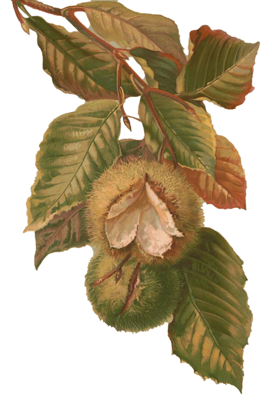 American chestnut 1.png