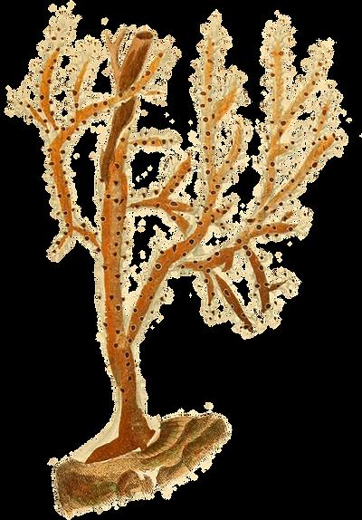 n22_w1150 Histoire naturelle des coralli