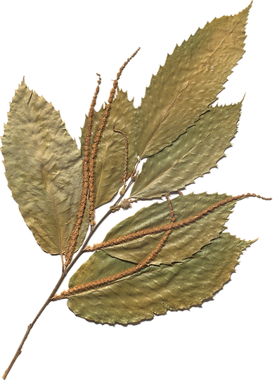 american chestnut 2.png
