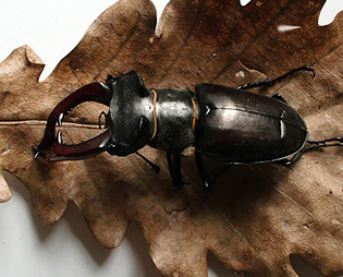 169-Insecte cerf-volant Photo Louis Bour