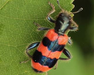 169-insecte Photo Louis Bour.jpg