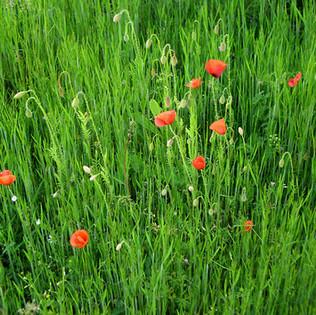 new-Coquelicots dans l'herbe verte Ph. L