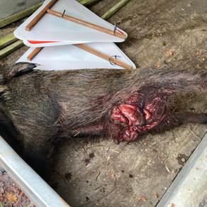 Drückjagd mit schwer verletzten Wildschweinen