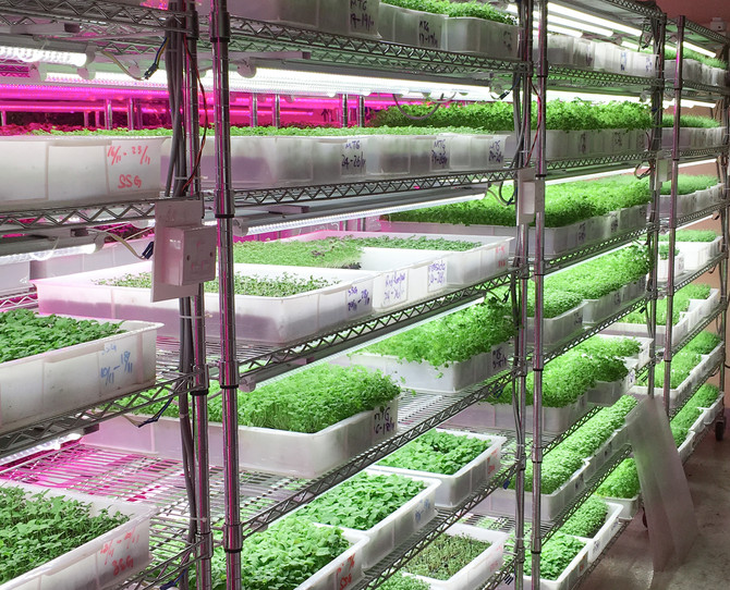Introduction to Cress a.k.a Microgreens