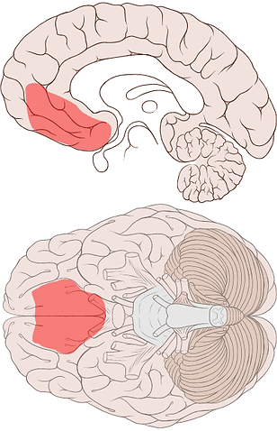 Ventromedial_prefrontal_cortex.png