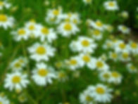 chamomile_LRG.jpg