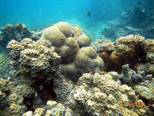 Healthy corals in Palk Bay.JPG