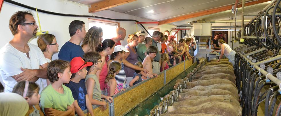 La traite des brebis