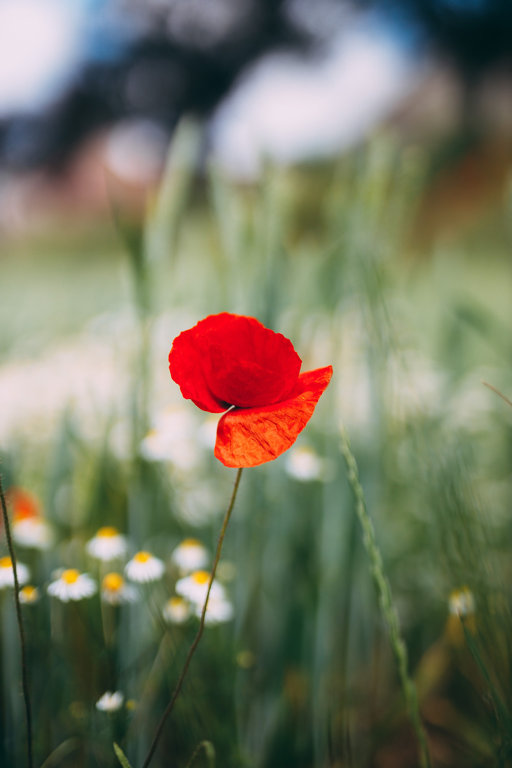 close up of a red flower in nature with grass and trees in the distance behind it