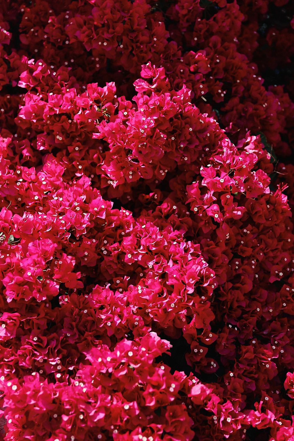 close up of pink flowers with a white middle and edge
